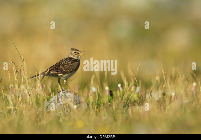 Skylark on rock (singing) ©Jake Stephen Photography. - Stock Image