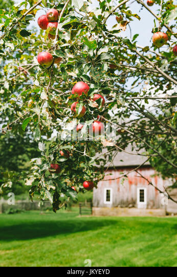 apple tree with red Barn Background - Stock Image