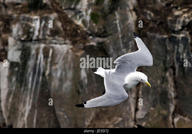 Black-legged Kittiwake (Rissa tridactyla) in flight at Cape St. Mary's Ecological Reserve, Cape St. Mary's, - Stock Image