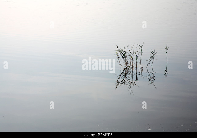 Group of reeds with reflections on still water positioned on vertical third. - Stock Image