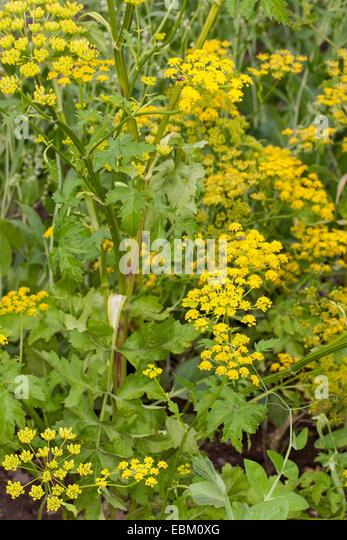 wild parsnip (Pastinaca sativa), yellow blossom - Stock Image