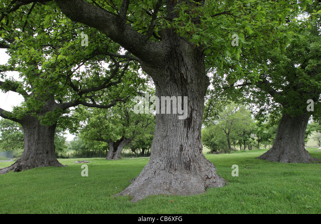 Old oak trees in Northern Bulgaria, summer - Stock Image