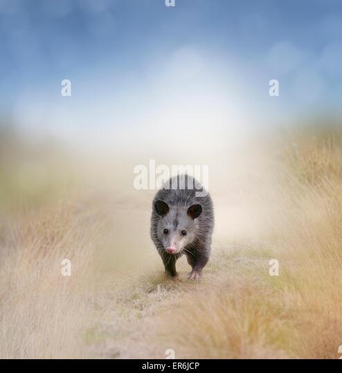 Young Opossum Walking In A Field - Stock-Bilder