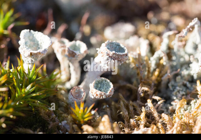 A tiny moss or fungus raises white cups about an inch high in the rocks of an island near Hamiltonbreen, Spitzbergen - Stock Image