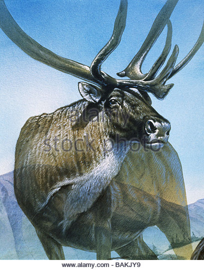 Large Moose - Stock-Bilder
