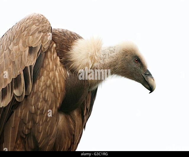 Portrait of Griffon Vulture - Stock Image