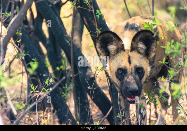 Botswana. Okavango Delta. Khwai concession. African wild dog (Lycaon pictus) looks out from its resting place in - Stock Image