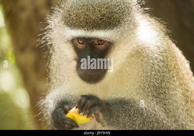 Beardy Monkey: Red Bearded Monkey Stock Photos & Red Bearded Monkey Stock