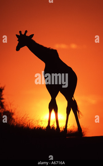GIRAFFE walking across African Sunset - Stock Image