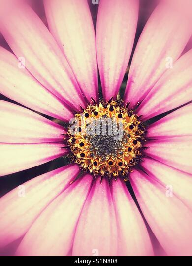 Pink daisy flower - Stock Image