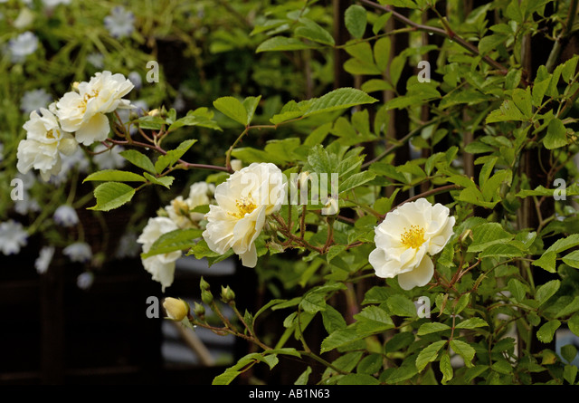 Old Fashioned Rambling Roses