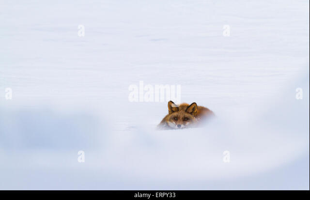 Red fox lying in snow and looking towards camera - Stock Image