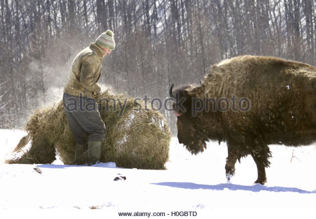 What Are Two of the American Bison's Adaptations?