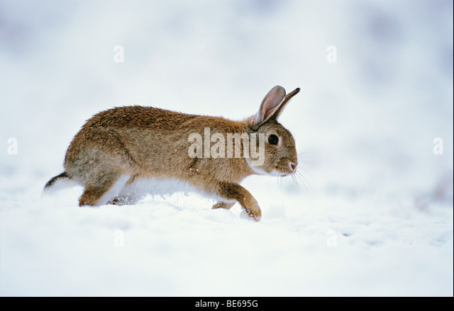 European Wild Rabbit (Oryctolagus cuniculus) walking in snow - Stock Image