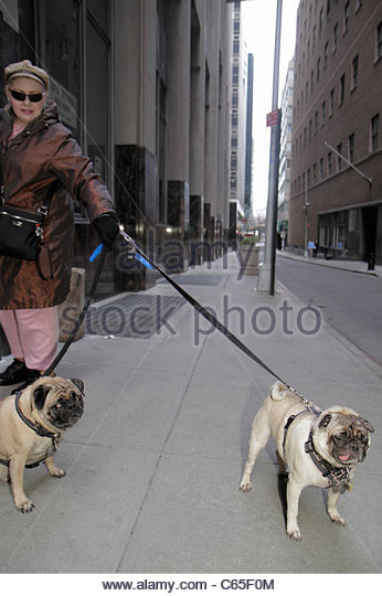 Lower Manhattan New York City NYC NY Financial District FiDi sidewalk woman walking toy dog pet animal leash Pug - Stock Image