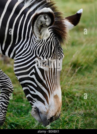The face of a zebra. - Stock-Bilder