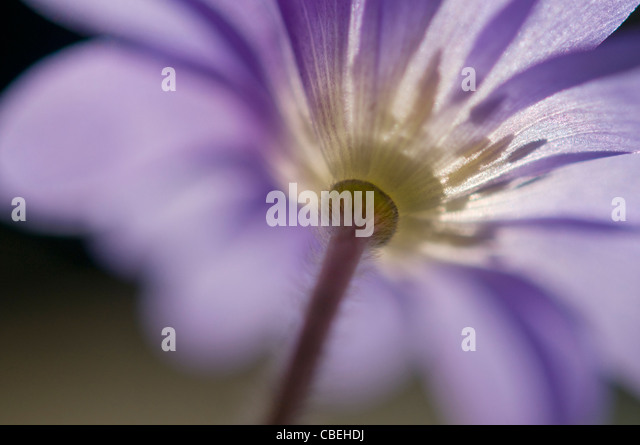 Anemone blanda, Blue flower subject. - Stock Image