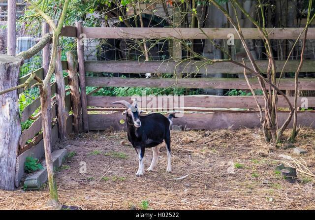 Goat in pen at Gut Boltenhof Hotel & farm, Brandenburg, Germany - Stock Image