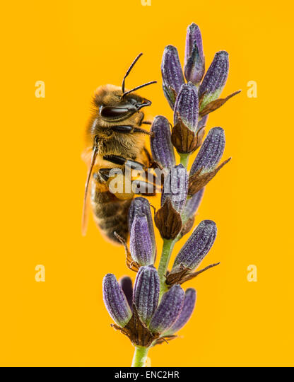 Honey bee, Apis mellifera, foraging on lavender in front of an orange background - Stock-Bilder
