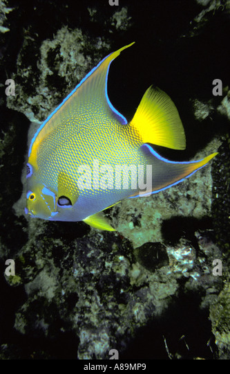 Underwater queen angelfish - Stock Image