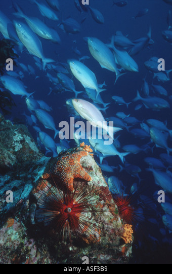 Underwater cliff with colourful starfish sea urchin and schooling fish Depth 15 metres White Island New Zealand - Stock Image