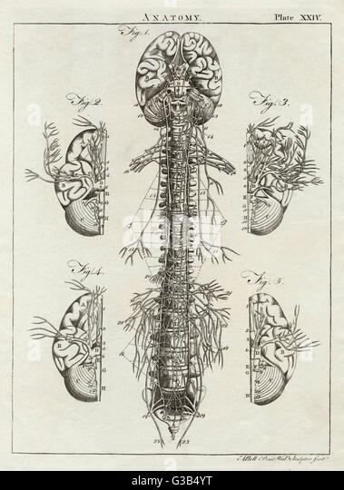 Detailed diagram of the brain  and spine         Date: 1768 - Stock Image