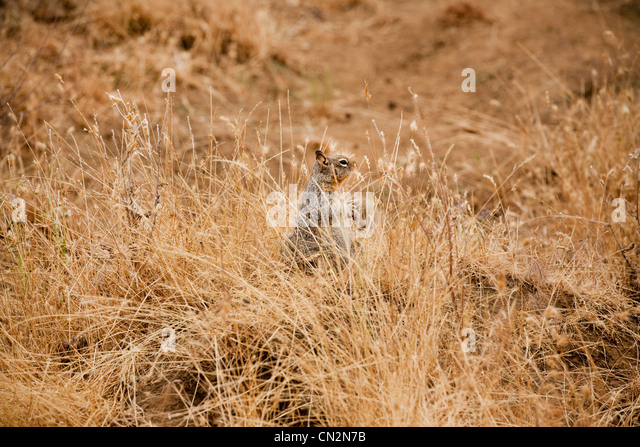Squirrel in grass - Stock Image