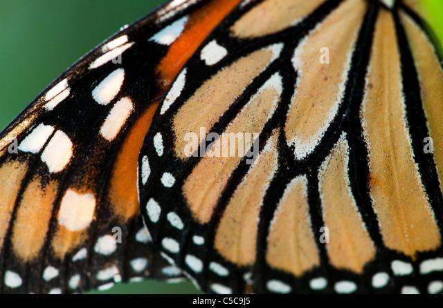 Danaus Plexippus . Monarch butterfly wing pattern - Stock Image