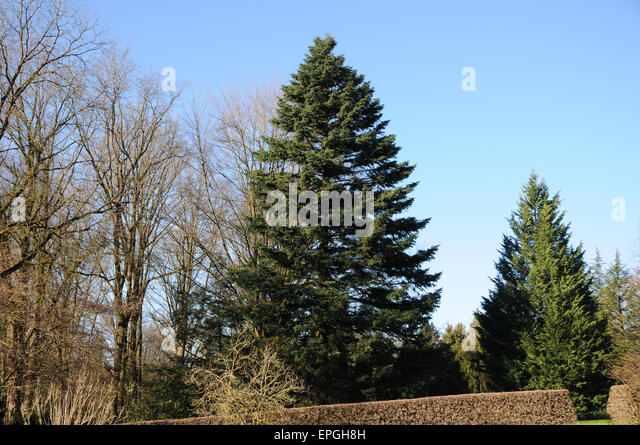 Caucasian fir - Stock Image