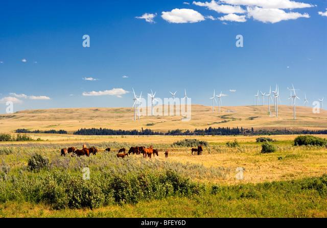 horses and Wiind turbines, Pincher Creek, Alberta, Canada, energy, Wind Energy, Alternate Energy - Stock Image