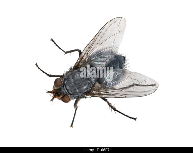Bluebottle - Calliphora erythrocephala - Stock Image