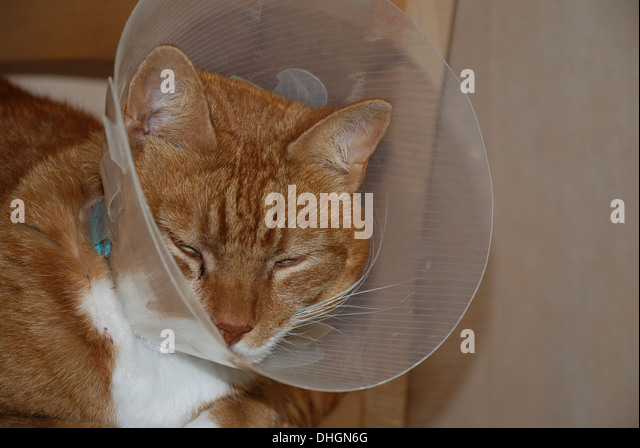 Cat in protective collar - Stock Image