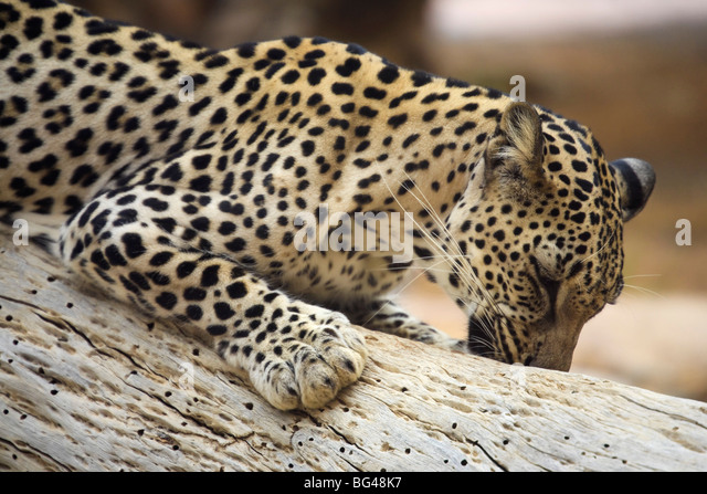 United Arab Emirates, Sharjah, Sharjah National Park Zoo, Arabian Leopard - Stock Image