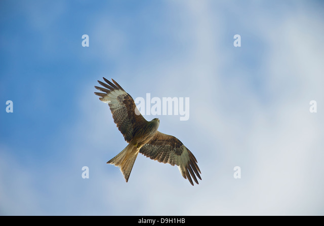 A Red Kite (Milvus milvus) soars against a summer sky at Bwlch Nant Yr Arian, Ceredigion, West Wales. - Stock Image