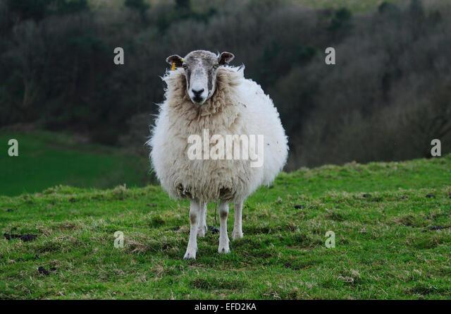An interested sheep UK - Stock Image
