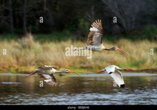 'White Ibis''Eudocimus albus''Birds in flight'Chincoteague National Wildlife Refuge. Maryland, - Stock-Bilder
