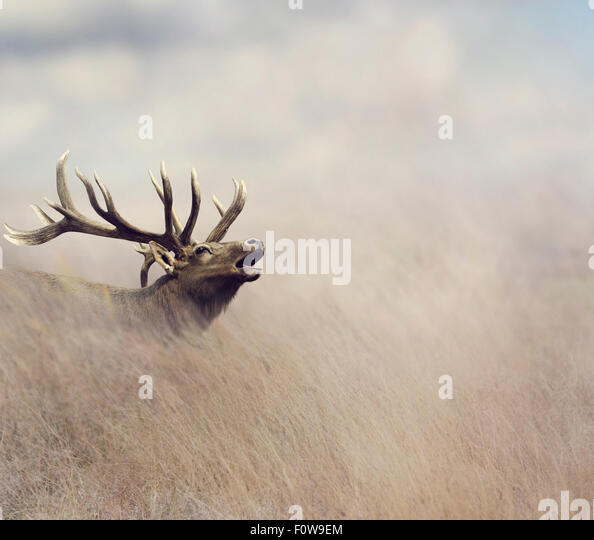 Elk Walking in Tall Grass - Stock Image