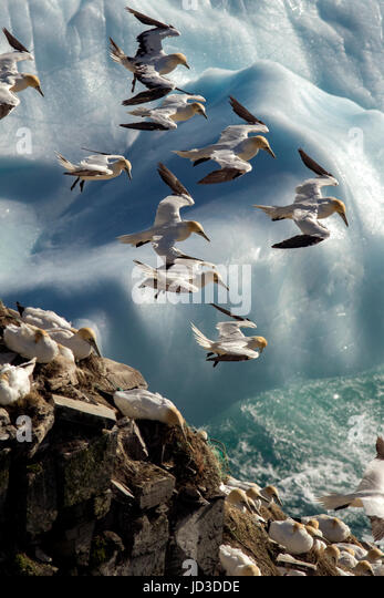 Northern Gannets (Morus bassanus) in flight at Cape St. Mary's Ecological Reserve, Cape St. Mary's, Avalon - Stock Image