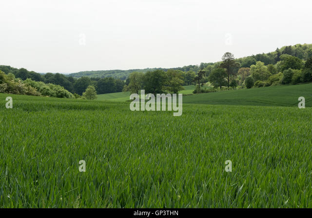 Development of a winter wheat crop from seedling to harvest, early summer. Berkshire, June - Stock Image