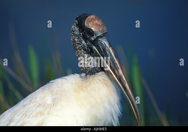 Birds wood stork birds florida Mycteria americana endangered species everglades national park wading birds - Stock Image
