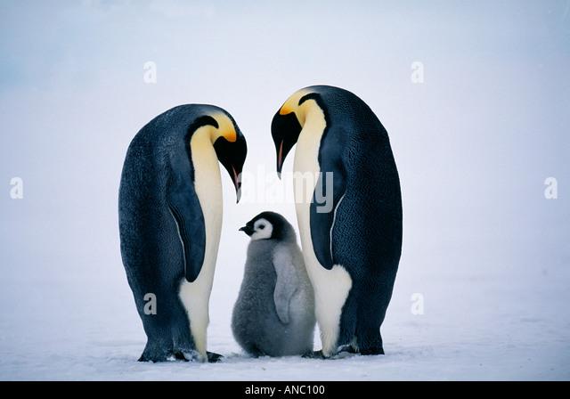Emperor Penguin Aptenodytes forsteri pair with chick family Dawson Lambton Glacier weddell sea Antarctica November - Stock-Bilder