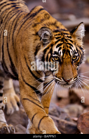Young male Bengal tiger walking towards the camera in the forest track in Ranthambhore national park - Stock Image