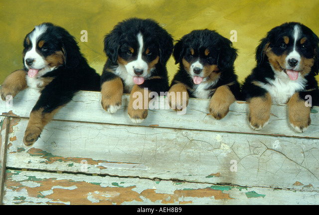four curious puppies. Photo by Willy Matheisl - Stock Image