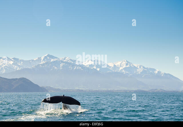 New Zealand, Canterbury, Kaikoura, View of whales tail fin - Stock Image