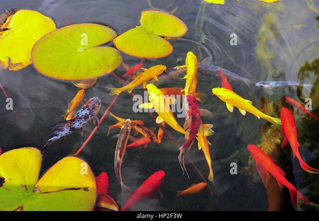 Aquatic garden stock photos aquatic garden stock images for Ornamental pond fish