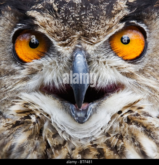 European Eagle Owl,  Close-up - Stock Image