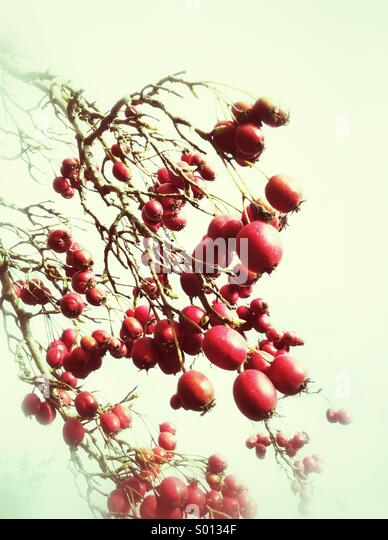 Wild red cherry tree - Stock-Bilder