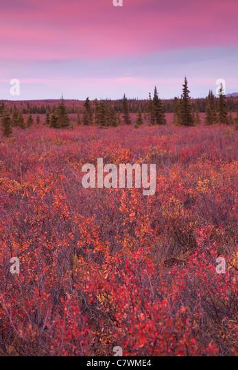 Sunset at Teklanika, Denali National Park, Alaska. - Stock Image