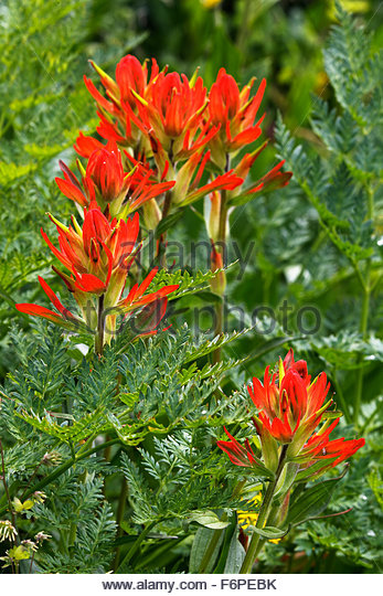 Red Paintbrush, in Ouray, Colorado - Stock Image