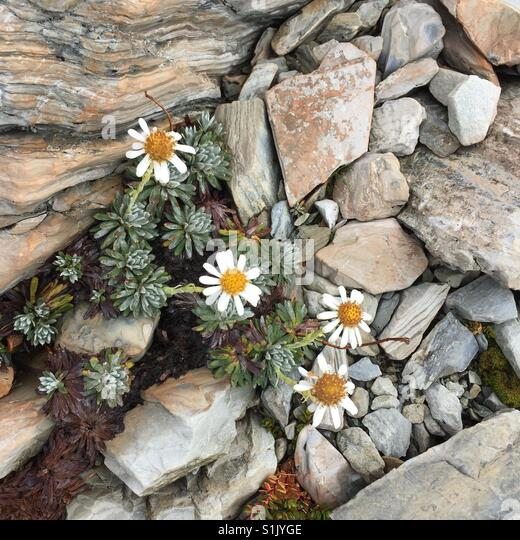 Mountain daisy amongst the rocks - Stock Image